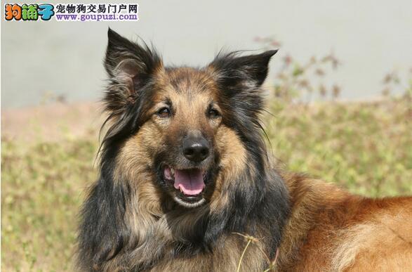 高龄狼狗护理需知及狼狗老化症状和特征