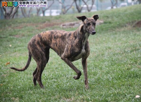格力犬幼犬饲养和护理的方法