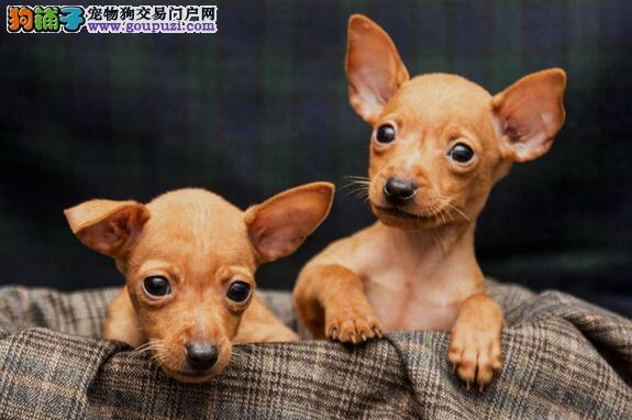 小鹿犬幼犬多大可以吃干饲料