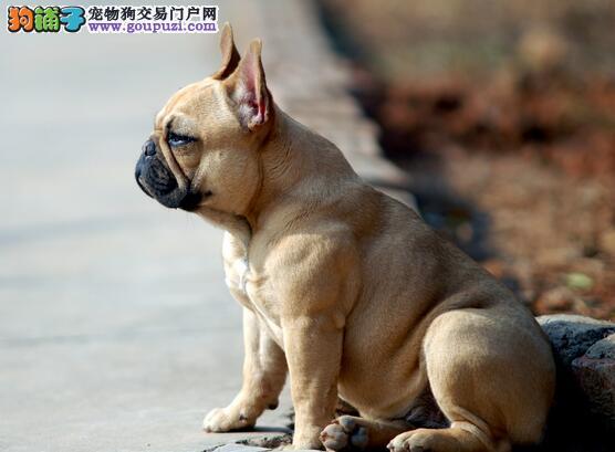 法国斗牛犬耳朵臭的原因和清洁方法