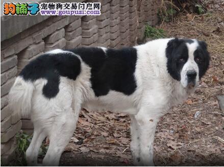 中亚牧羊犬过敏掉毛,原来是饲料惹的祸