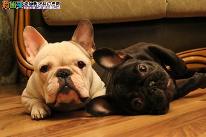 五个原因导致法国斗牛犬总爱咬东西