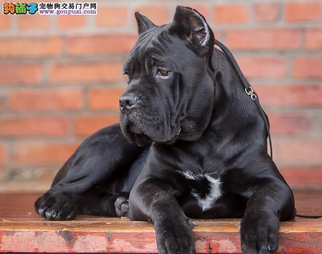 怀孕的卡斯罗犬喂养需求,产后不愿进食的办法