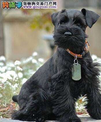 雪纳瑞瘫痪,帮助狗狗复健的重点