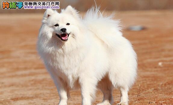 银狐犬瘫痪是椎间盘问题造成的