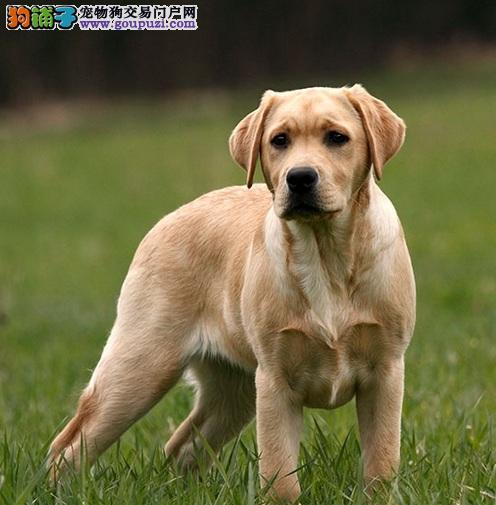 拉布拉多犬诊断出跳蚤过敏症,却没跳蚤