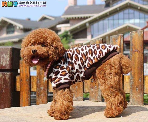 泰迪犬冬天怕冷怎么办