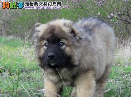 高加索犬出现异常流口水的原因及治疗方法