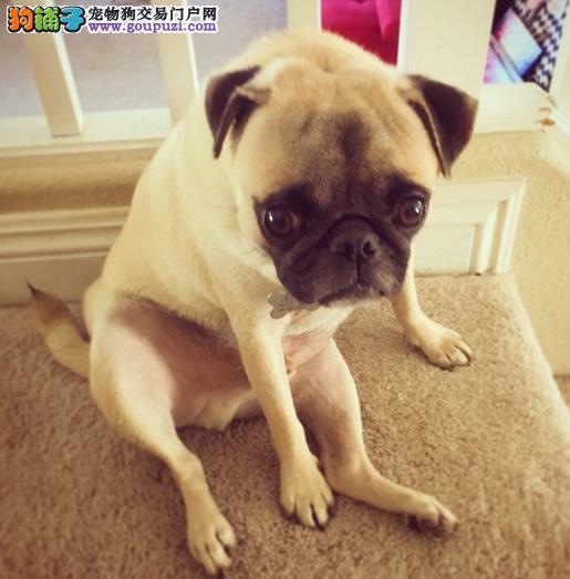 家里木地板是否适合养巴哥犬
