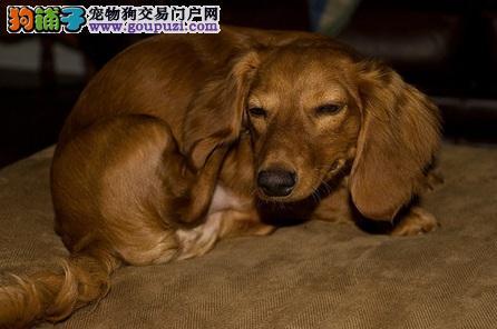 什么病?腊肠狗耳朵居然肿一大包