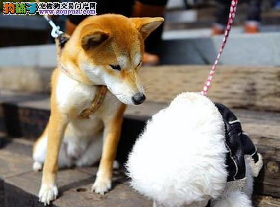 怎样给秋田犬幼犬剪指甲
