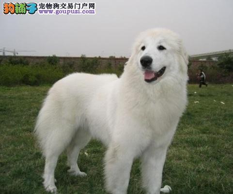 大白熊犬耳朵发炎的症状