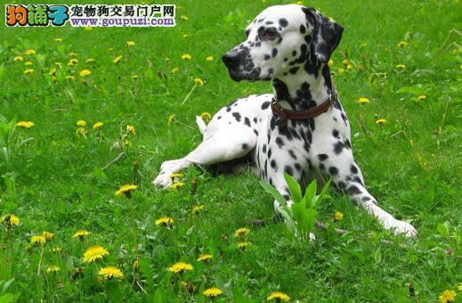 斑点狗得狗褥疮的原因及治疗护理方法