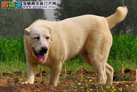 中亚牧羊犬幼犬多大可以断奶
