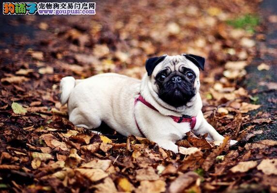巴哥犬长骨刺症状、治疗方法和日常照护