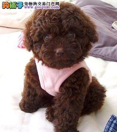 三个月的泰迪犬幼犬饲养须知
