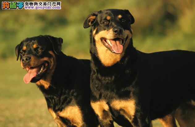 改善罗威纳犬吃大便的方法