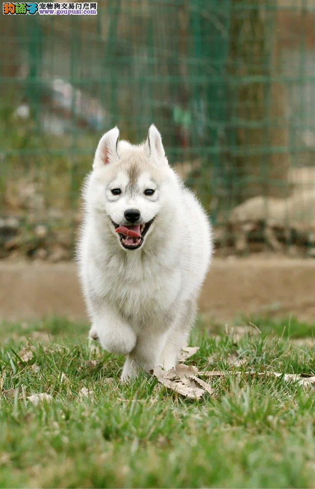 太原售纯种哈士奇西伯利亚雪橇犬 撒手没签协议保健康