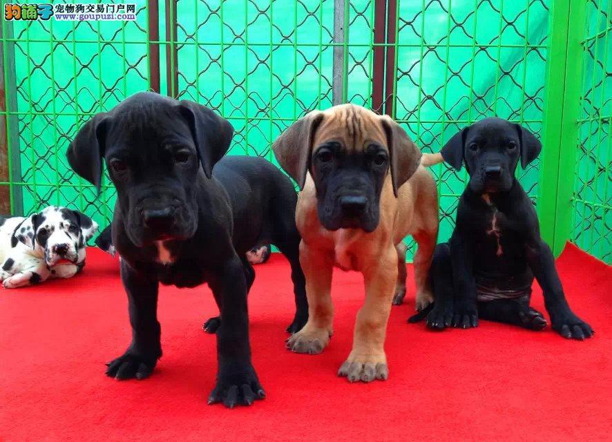 知名犬舍出售多只赛级大丹犬市内免费送货