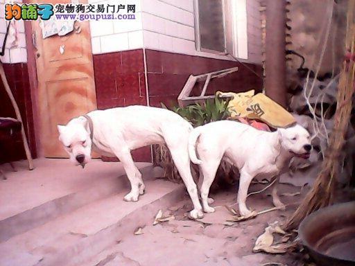 专业基地出售德系纯种杜宾犬 护卫犬杜宾狗
