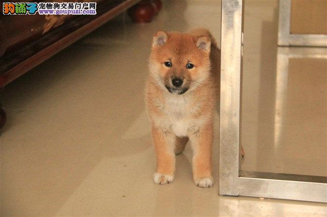 高品质柴犬带血统出售中 包纯种 质量三包 可签协议