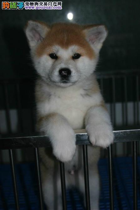 小八公,秋田犬出售了家养的超品相好无杂毛的日本血统