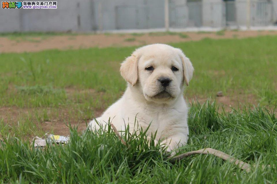 大头高品质 拉布拉多幼犬出售健康纯正好血统多只挑