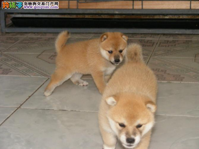纯种日本柴犬出售,欢迎上门挑选纯种日本柴犬