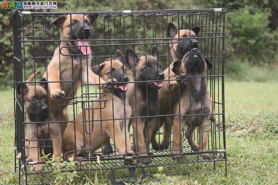 武汉马犬基地出售纯种马犬大体型 欢迎加微信 交流