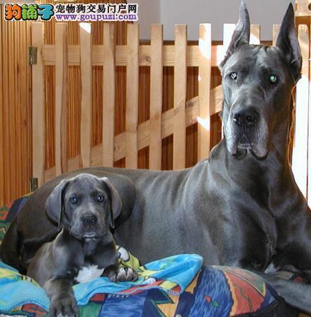 出售大丹犬专业缔造完美品质签署各项质保合同