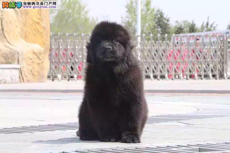 长沙精品高品质纽芬兰犬幼犬热卖中包养活送用品