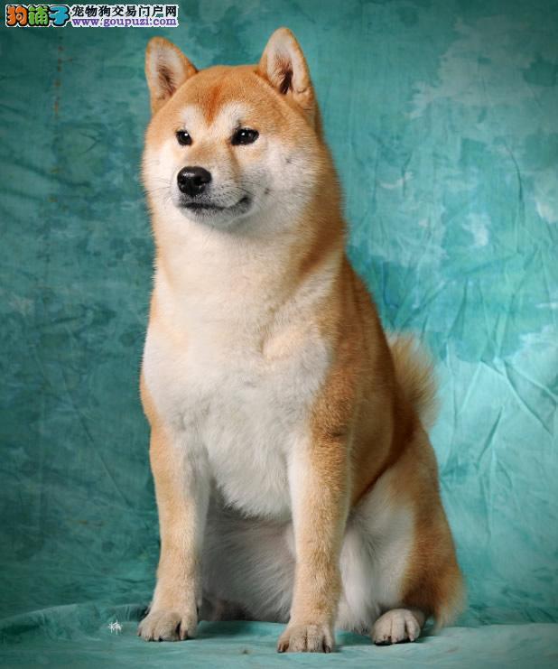 宜春日系柴犬出售 体型较小护卫性强 聪明干净护卫犬