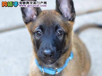赛级马犬幼犬,注射芯片颁发证书,提供养护指导
