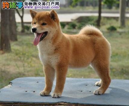 忠诚可靠的漂亮柴犬出售疫苗齐全品相好保证纯种健康