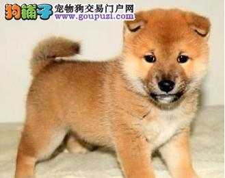 顶级血统日本柴犬出售 狗场直销可当场检验健康包养活