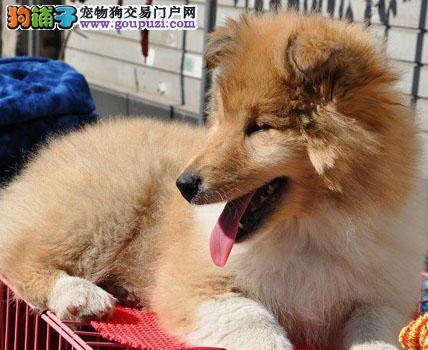纯种喜乐蒂牧羊犬幼犬 防疫齐全多窝待选北京通州售