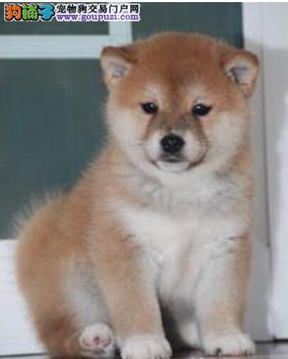 纯种日本柴犬 忠犬八公 守护你的柴犬 包纯种健康