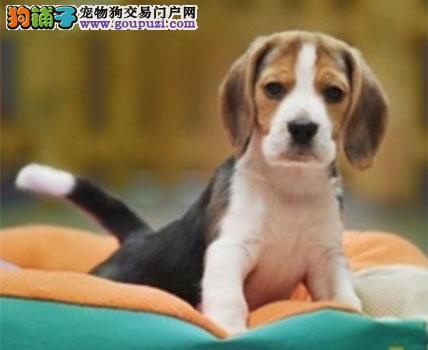 上门六折 出售家养比格犬纯种犬疫苗做好2