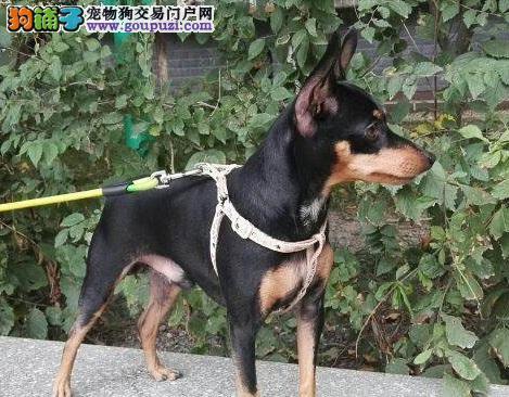 杭州实体店低价促销赛级小鹿犬幼犬诚信信誉为本