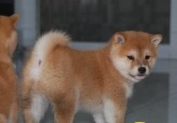 自家繁殖日本柴犬 保纯种保健康 可视频看狗 签协议2