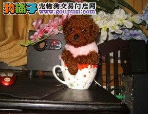 纯种韩版咖啡色泰迪一窝小狗很能吃能喝有喜欢的来