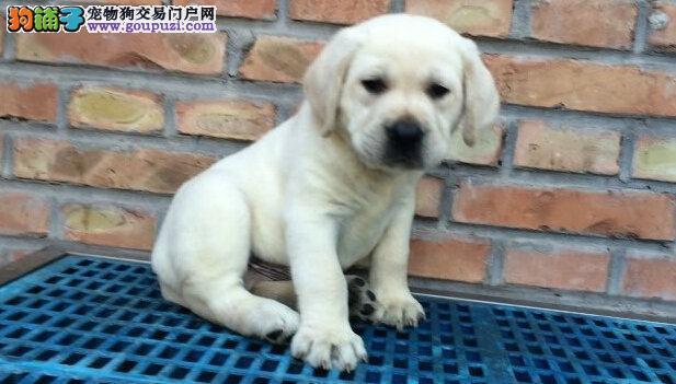 种拉布拉多幼犬 可爱 干净 聪明易训好养承诺健康