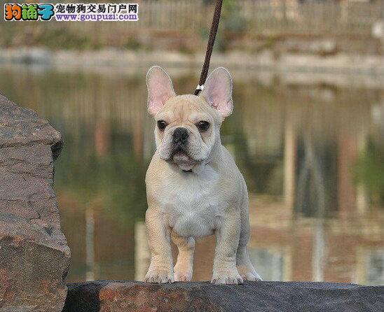 大鼻筋,超大鼻线,可爱法国斗牛犬,顶级!