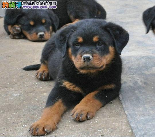 上海出售纯血统精品罗威那幼犬多窝出售签保障协议