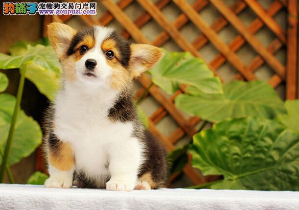 柯基幼犬  送狗用品  24小时营业  可送货