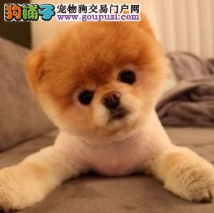 北京茶杯犬顶级韩版小体可爱茶杯泰迪博美茶杯犬2