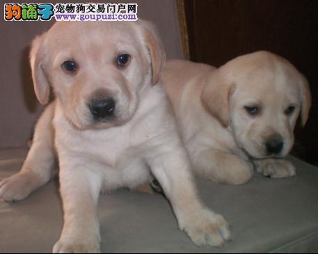 犬舍直销健康纯种高品质拉布拉多幼犬 多只可选3