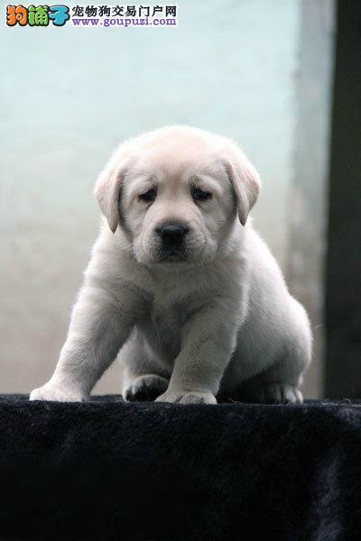 犬舍直销健康纯种高品质拉布拉多幼犬 多只可选2