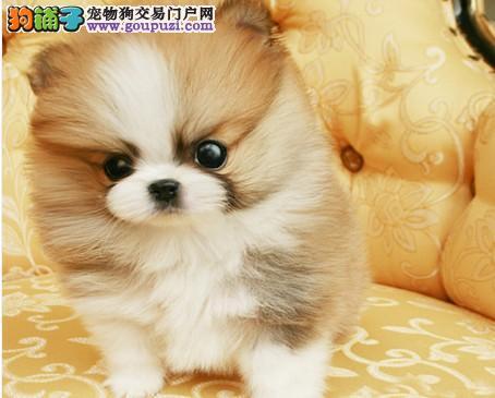 犬舍直销高品质纯种西施犬幼犬 完美售后1