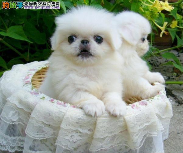 繁殖基地出售京巴幼犬 品相好纯种高品质2